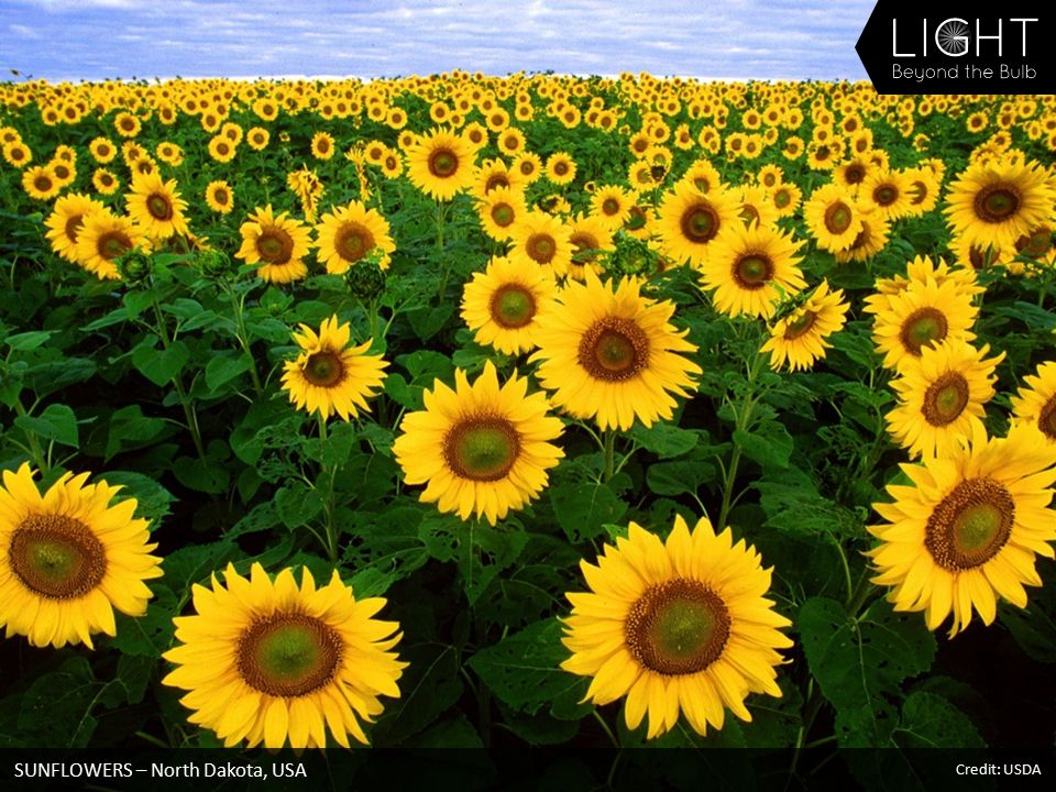 SUNFLOWERS – North Dakota, USA Credit: USDA