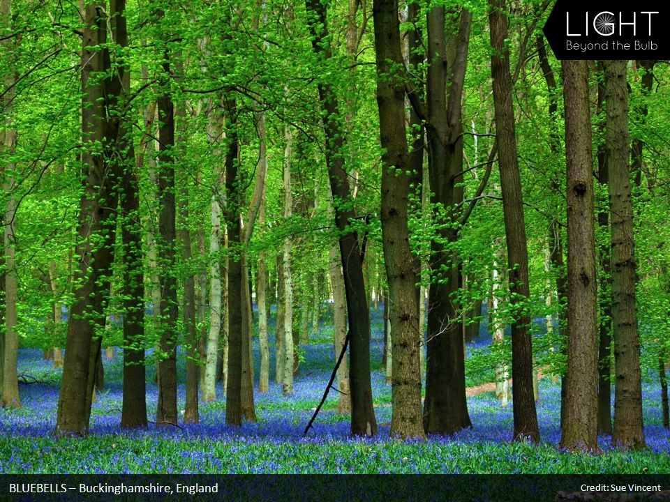 BLUEBELLS – Buckinghamshire, England Credit: Sue Vincent