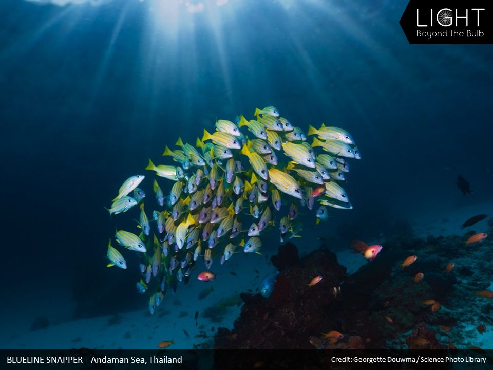 BLUELINE SNAPPER – Andaman Sea, Thailand Credit: Georgette Douwma / Science Photo Library