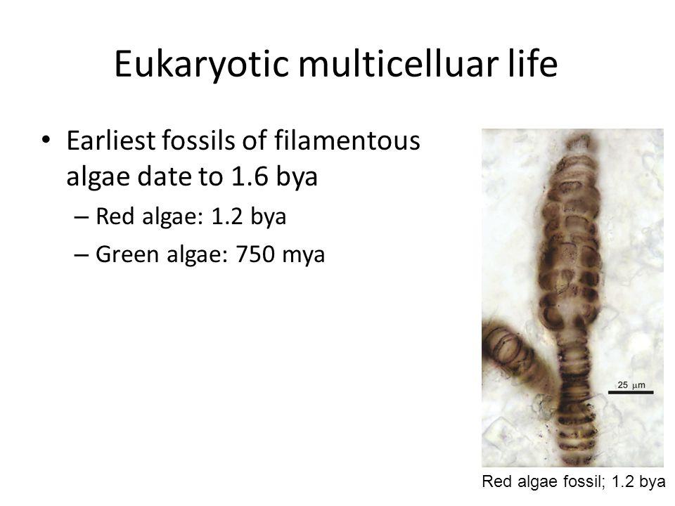 Eukaryotic multicelluar life Earliest fossils of filamentous algae date to 1.6 bya – Red algae: 1.2 bya – Green algae: 750 mya Red algae fossil; 1.2 bya