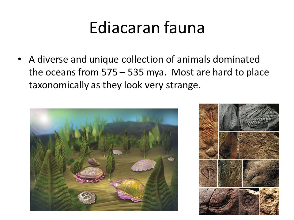 Ediacaran fauna A diverse and unique collection of animals dominated the oceans from 575 – 535 mya.