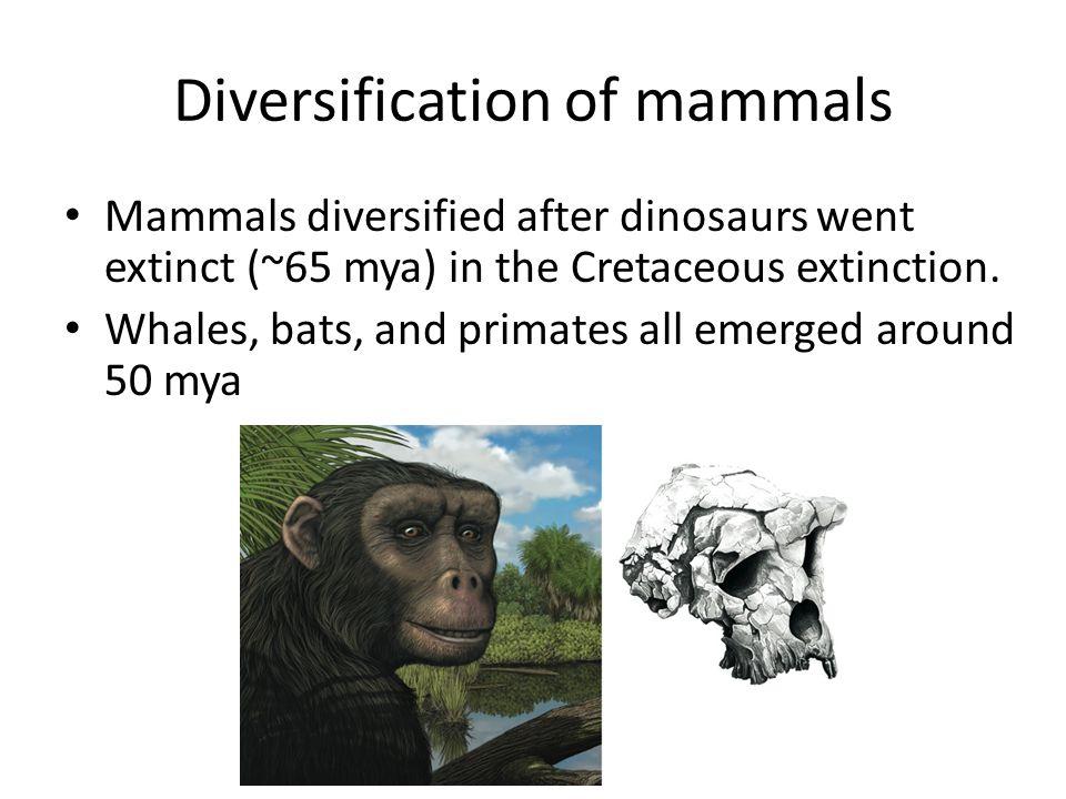 Diversification of mammals Mammals diversified after dinosaurs went extinct (~65 mya) in the Cretaceous extinction.