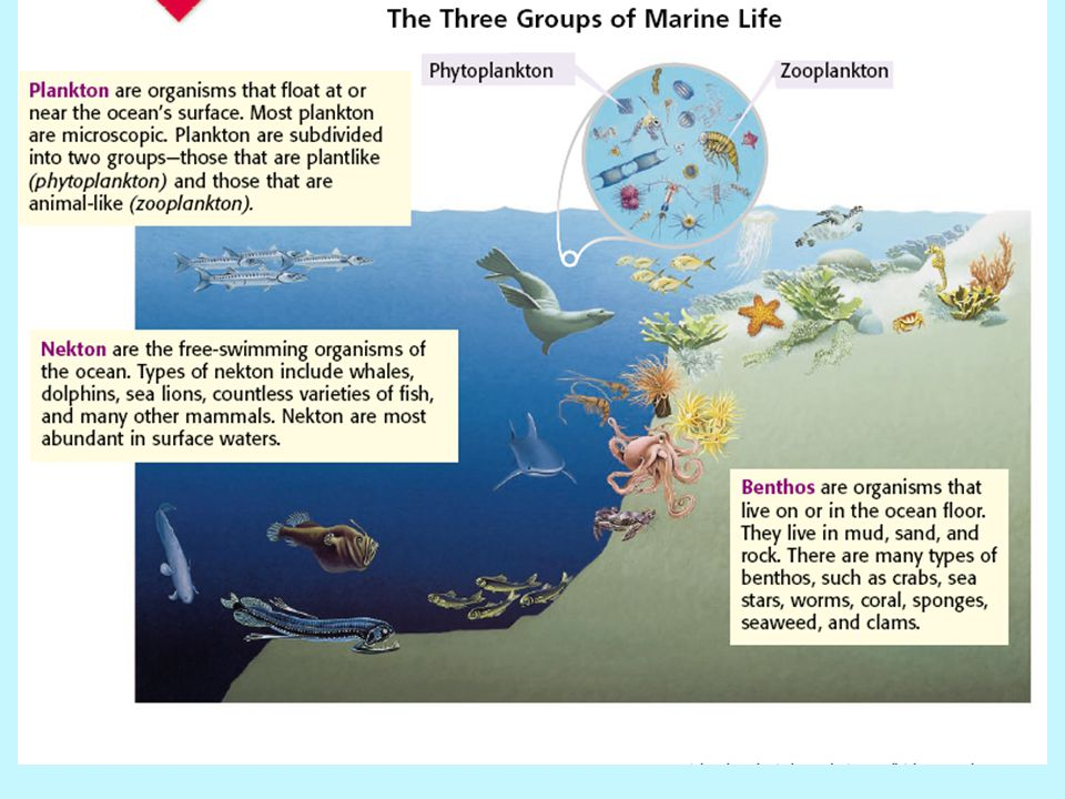 The Three Groups of Marine Life The three main groups of marine life are plankton, nekton, and benthos. Marine organisms are placed into one of these
