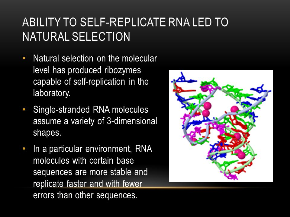 Natural selection on the molecular level has produced ribozymes capable of self-replication in the laboratory. Single-stranded RNA molecules assume a