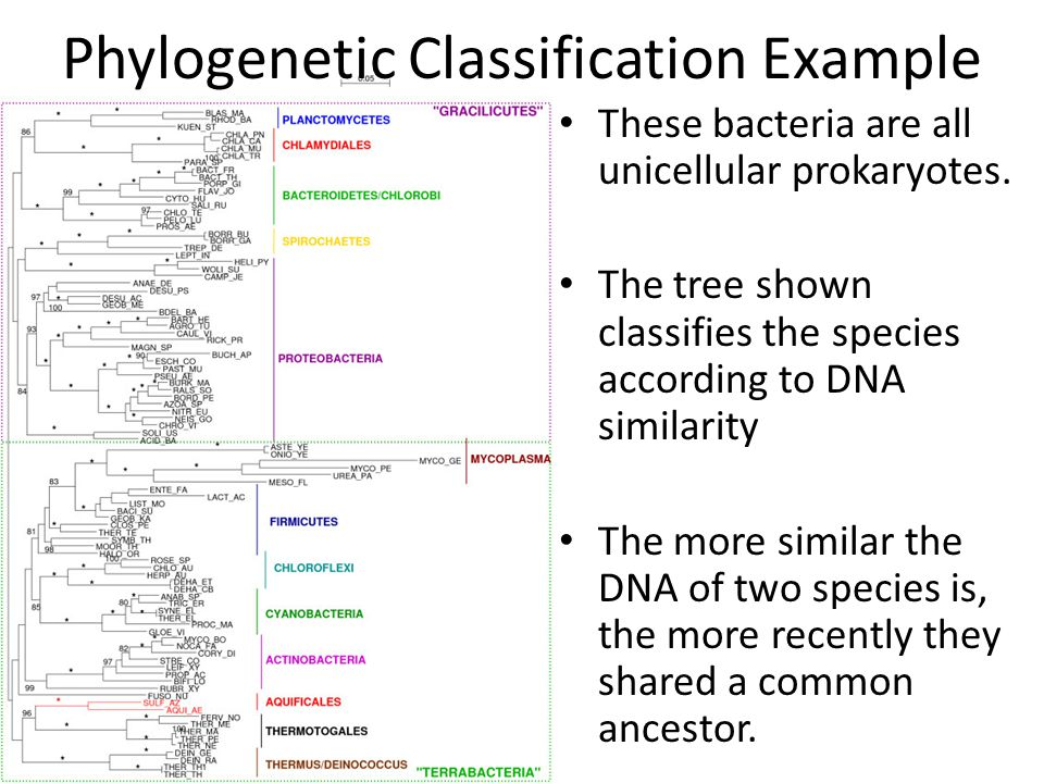 Phylogenetic Classification Example These bacteria are all unicellular prokaryotes. The tree shown classifies the species according to DNA similarity