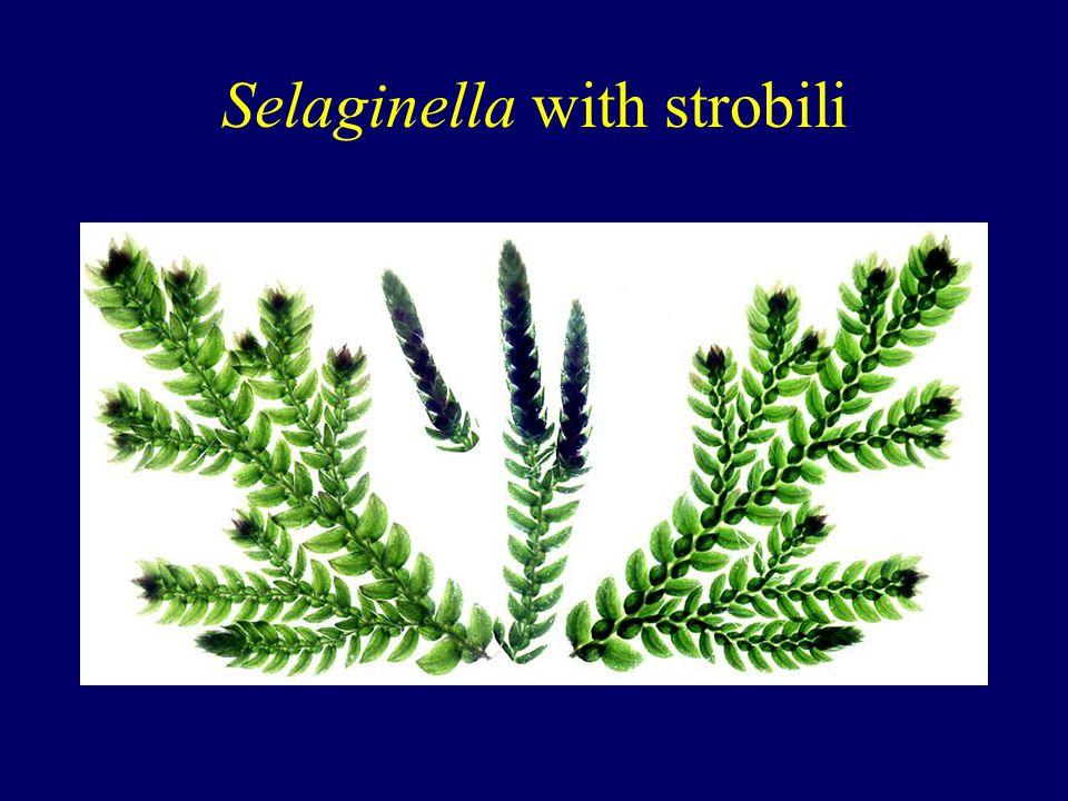 Selaginella with strobili
