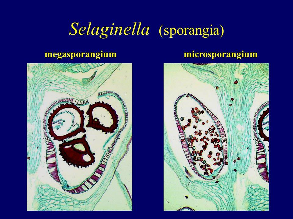 Selaginella (sporangia) megasporangiummicrosporangium