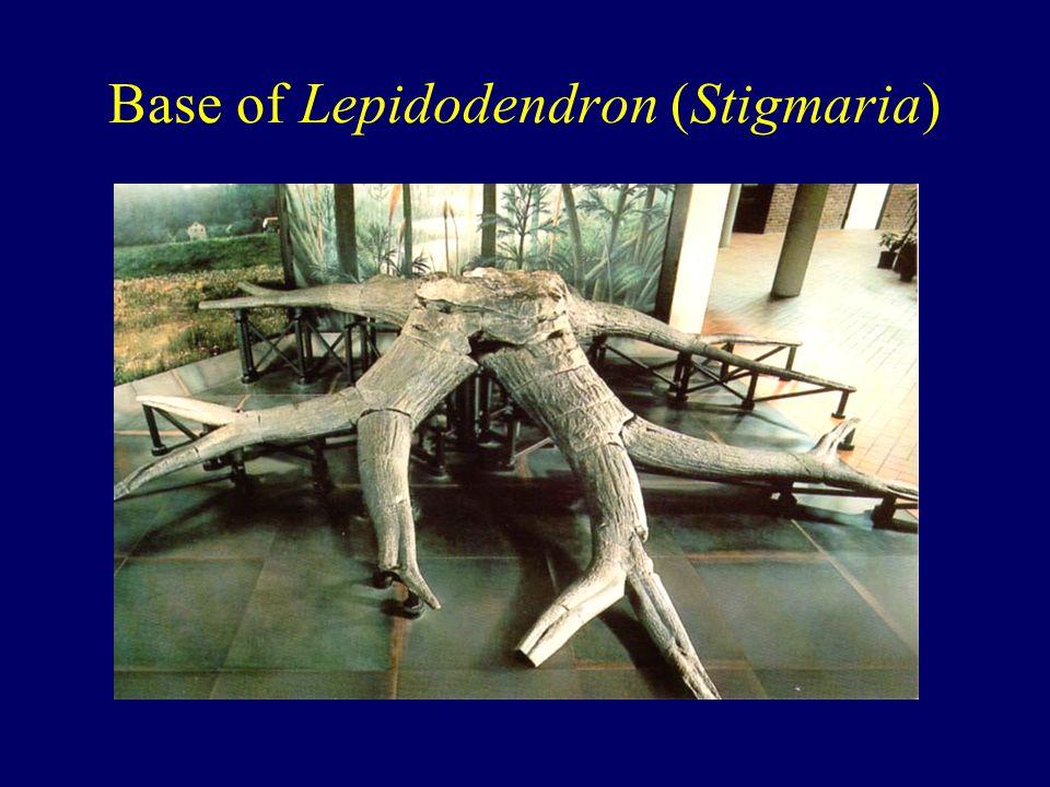 Base of Lepidodendron (Stigmaria)