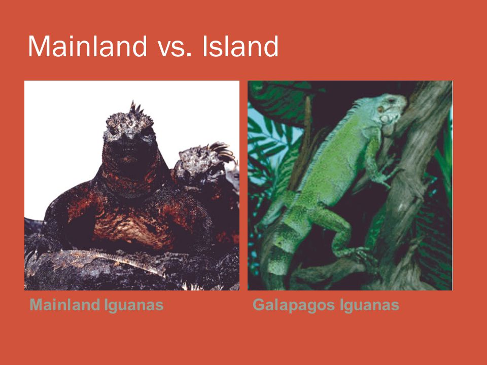 Mainland vs. Island Mainland IguanasGalapagos Iguanas