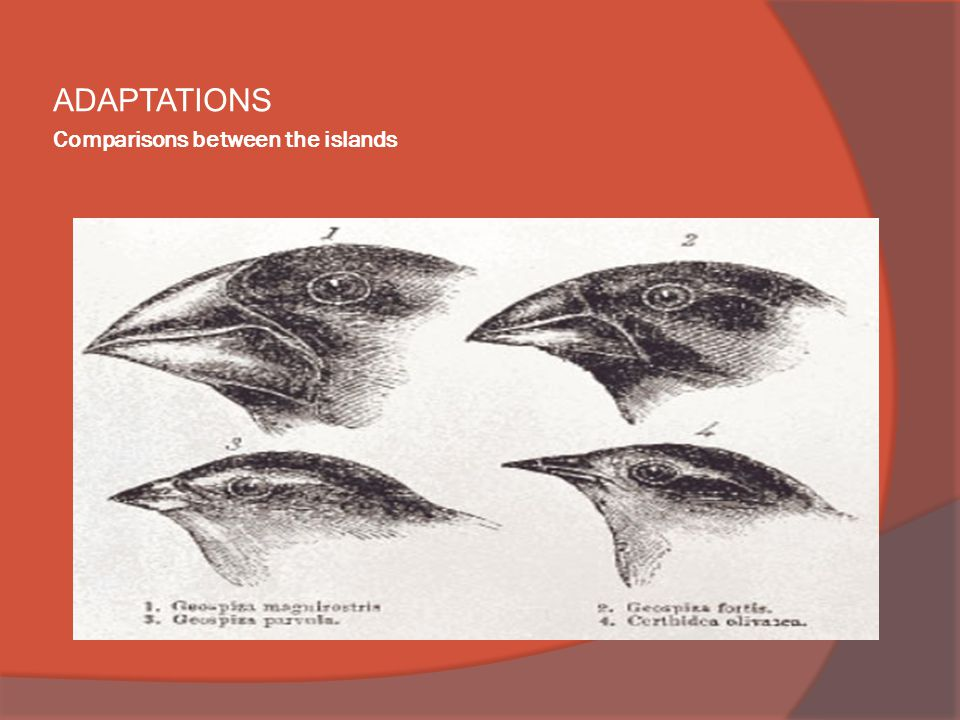 Comparisons between the islands ADAPTATIONS