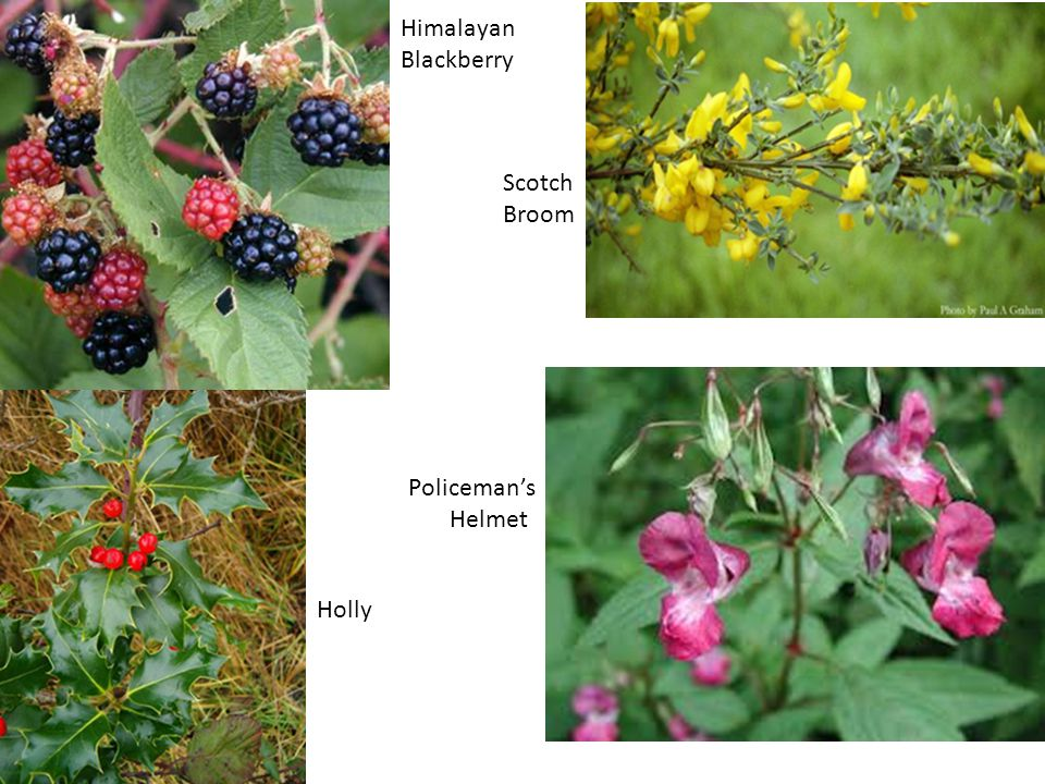 Himalayan Blackberry Holly Scotch Broom Policeman's Helmet