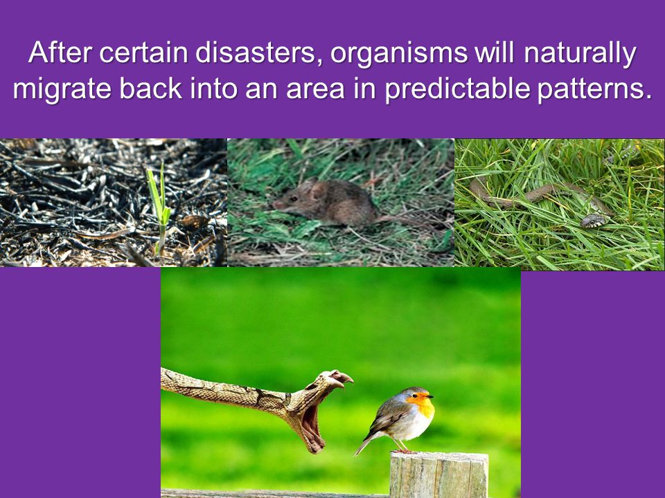 After certain disasters, organisms will naturally migrate back into an area in predictable patterns.