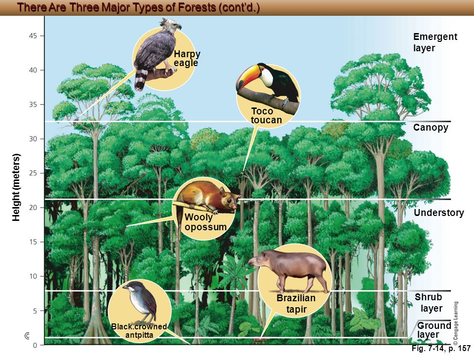 © Cengage Learning 2015 Fig. 7-14, p. 157 Harpy eagle Emergent layer Toco toucan Canopy Height (meters) Wooly opossum Understory Brazilian tapir Shrub