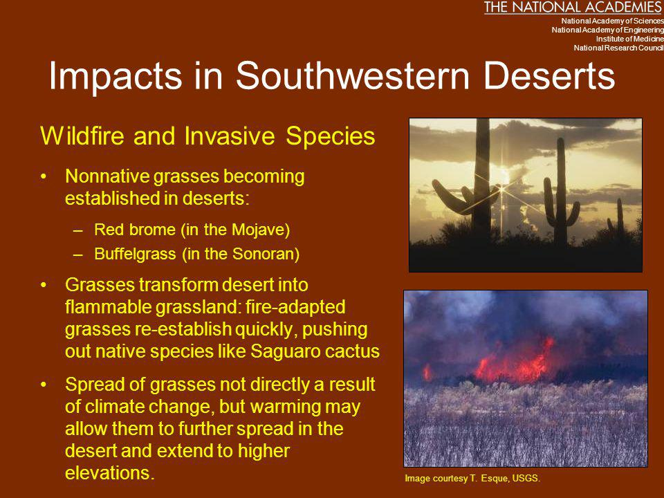 Impacts in Southwestern Deserts Wildfire and Invasive Species Nonnative grasses becoming established in deserts: –Red brome (in the Mojave) –Buffelgra