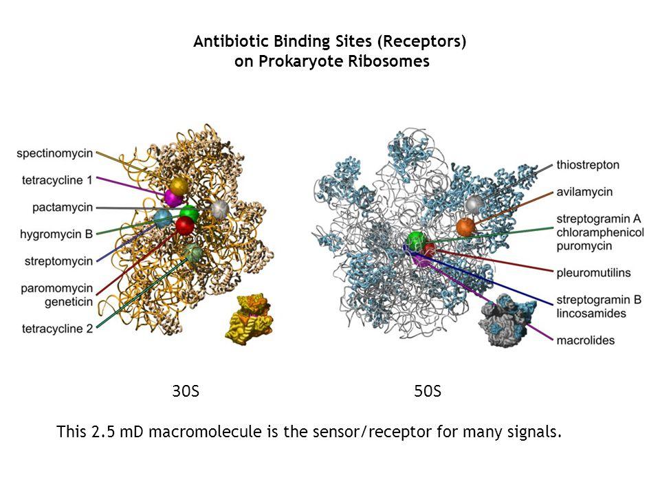 Antibiotic Binding Sites (Receptors) on Prokaryote Ribosomes 30S50S This 2.5 mD macromolecule is the sensor/receptor for many signals.