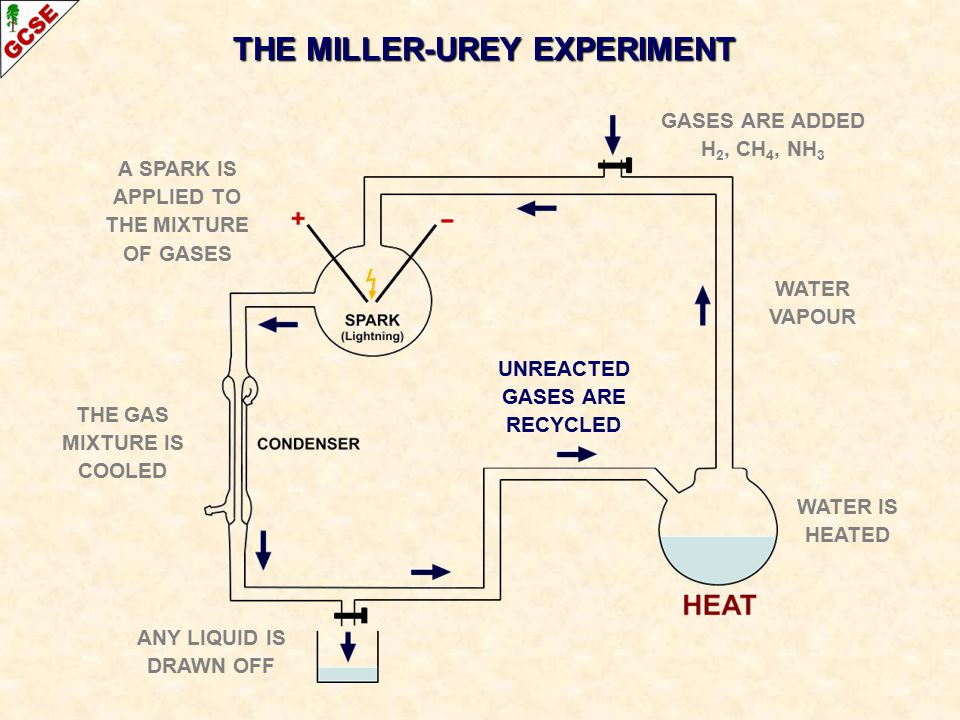 THE MILLER-UREY EXPERIMENT WATER IS HEATED GASES ARE ADDED H 2, CH 4, NH 3 WATER VAPOUR A SPARK IS APPLIED TO THE MIXTURE OF GASES THE GAS MIXTURE IS COOLED ANY LIQUID IS DRAWN OFF UNREACTED GASES ARE RECYCLED