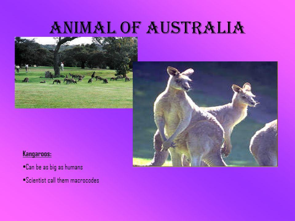 Animal of Australia Kangaroos: Can be as big as humans Scientist call them macrocodes