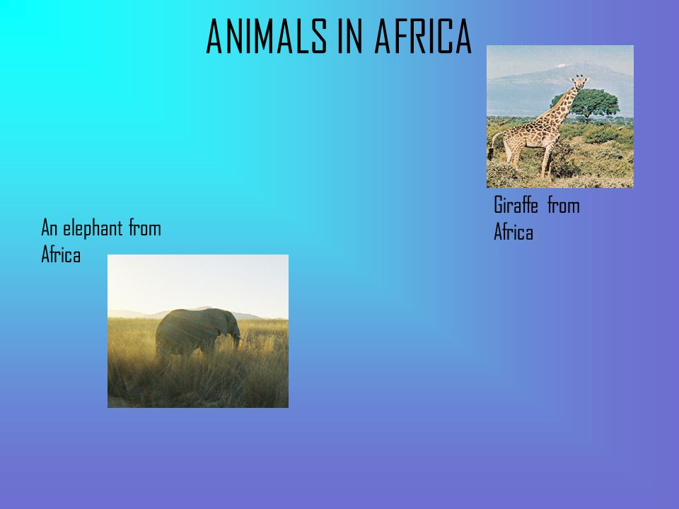 ANIMALS IN AFRICA An elephant from Africa Giraffe from Africa