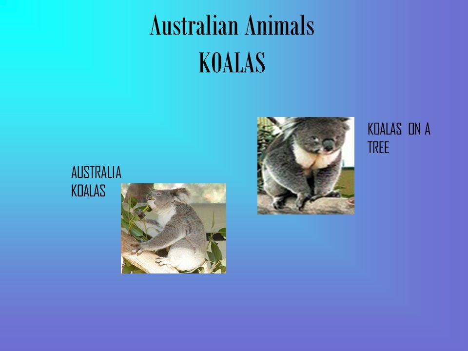 Australian Animals KOALAS AUSTRALIA KOALAS KOALAS ON A TREE