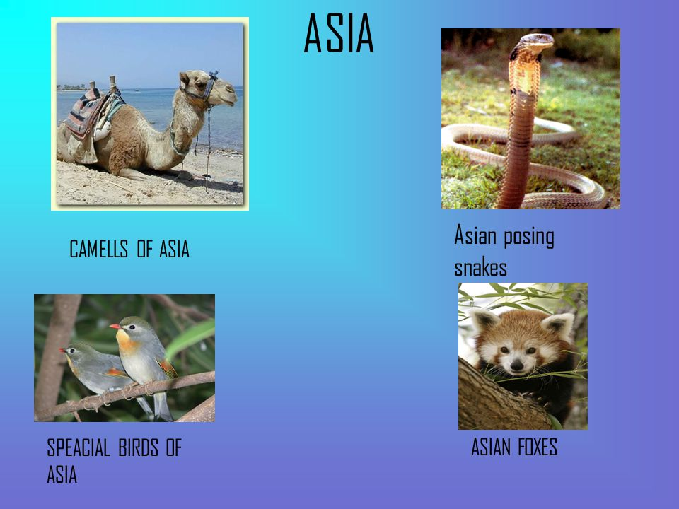 ASIA CAMELLS OF ASIA SPEACIAL BIRDS OF ASIA ASIAN FOXES Asian posing snakes