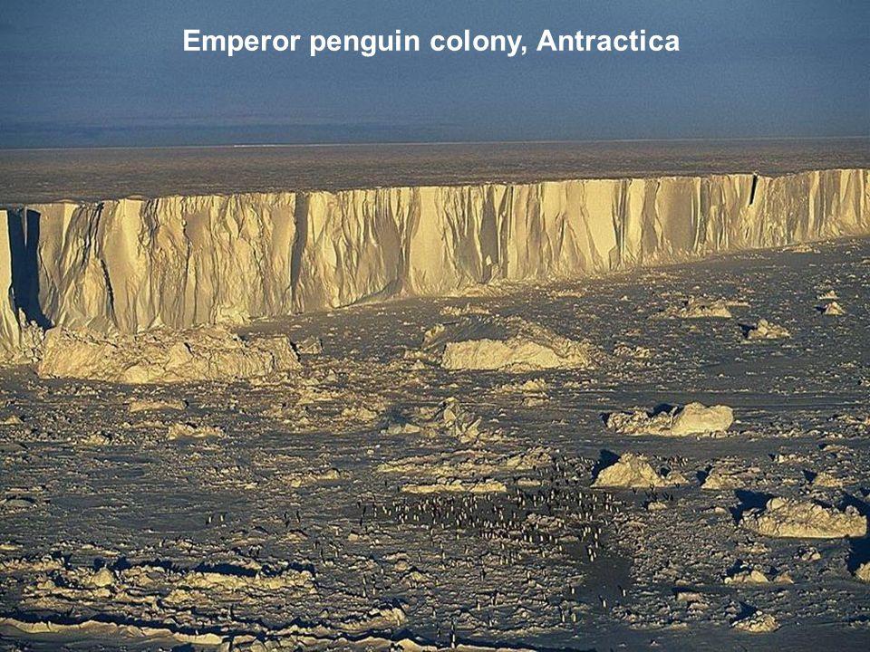 Emperor penguin colony, Antractica