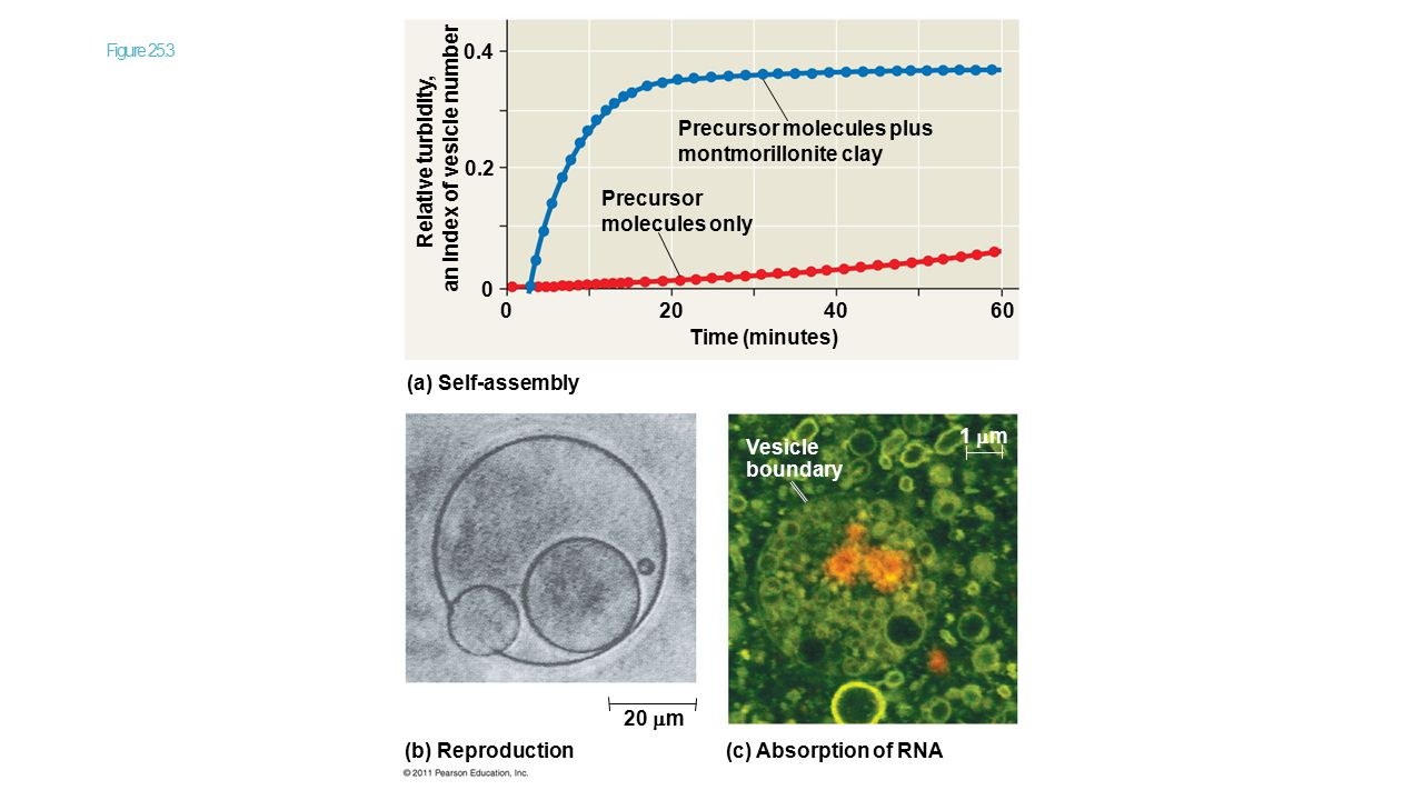 Figure 25.3 (a) Self-assembly Time (minutes) Precursor molecules plus montmorillonite clay Precursor molecules only Relative turbidity, an index of ve