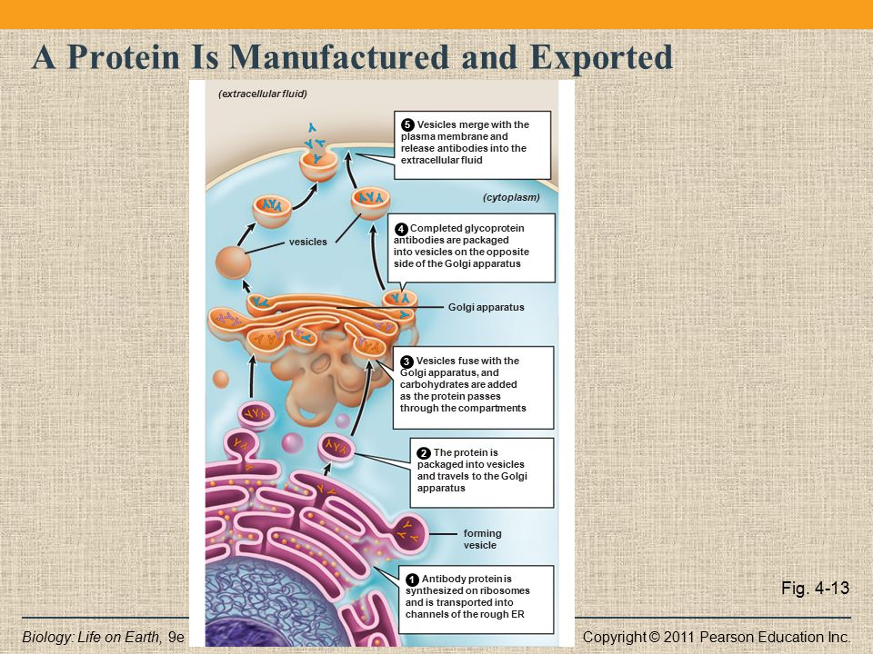 Copyright © 2011 Pearson Education Inc.Biology: Life on Earth, 9e A Protein Is Manufactured and Exported Fig. 4-13 Vesicles merge with the plasma memb