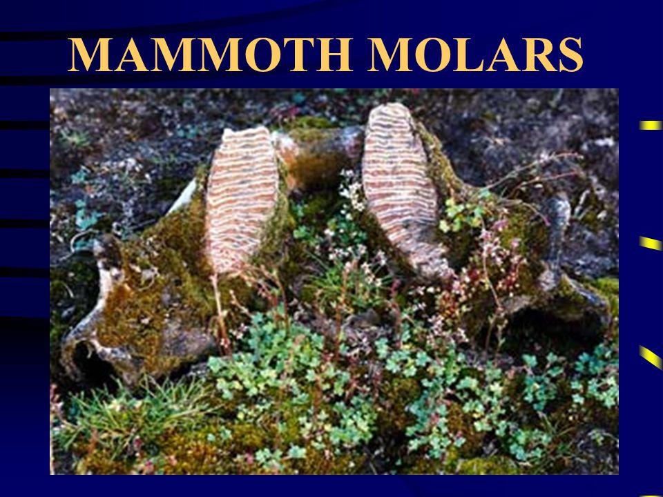 MAMMOTH TUSKS