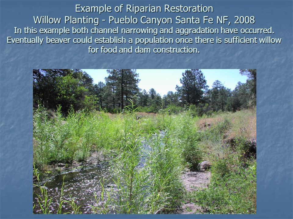 Example of Riparian Restoration Willow Planting - Pueblo Canyon Santa Fe NF, 2008 In this example both channel narrowing and aggradation have occurred.
