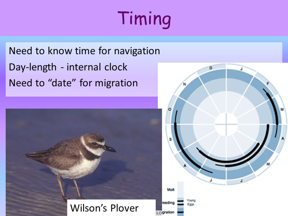 "Timing Need to know time for navigation Day-length - internal clock Need to ""date"" for migration 3 Wilson's Plover"