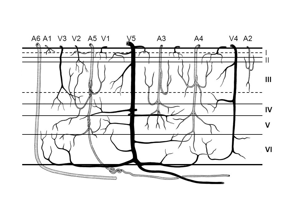 500  m Macaque superior temporal gyrus
