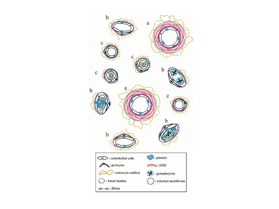 Neuronen Astrozyten Dilatation Konstriktion Blutgefäss Glattmuskelzellen Arachidonsäure NO NOS Neuronen Glu NMDA mGluR Neuronen NA [Ca 2+ i ] 11 (Inter-) Neuronen GABA Neuronen Hirnstamm ACh 5HT Neuropeptide (VIP, NZ, SOM) P450/COX Prostaglandine HETE