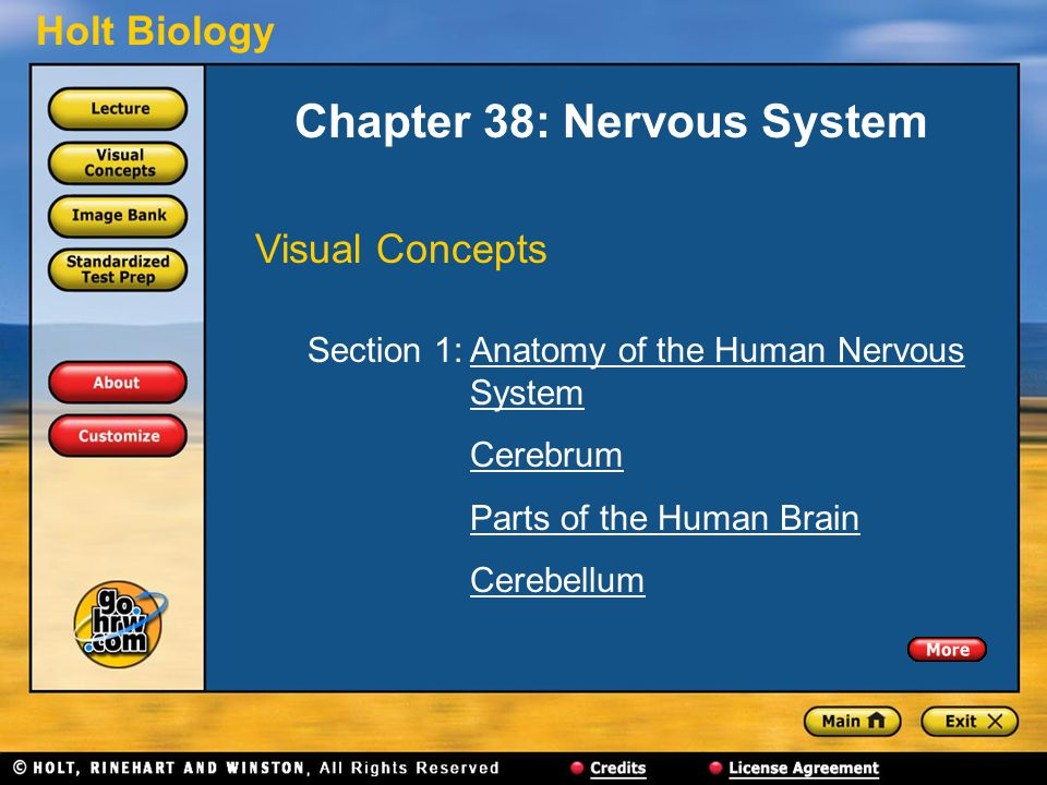 Holt Biology Chapter 38: Nervous System Visual Concepts Section 1: Anatomy of the Human Nervous SystemAnatomy of the Human NervousSystem Cerebrum Parts of the Human Brain Cerebellum