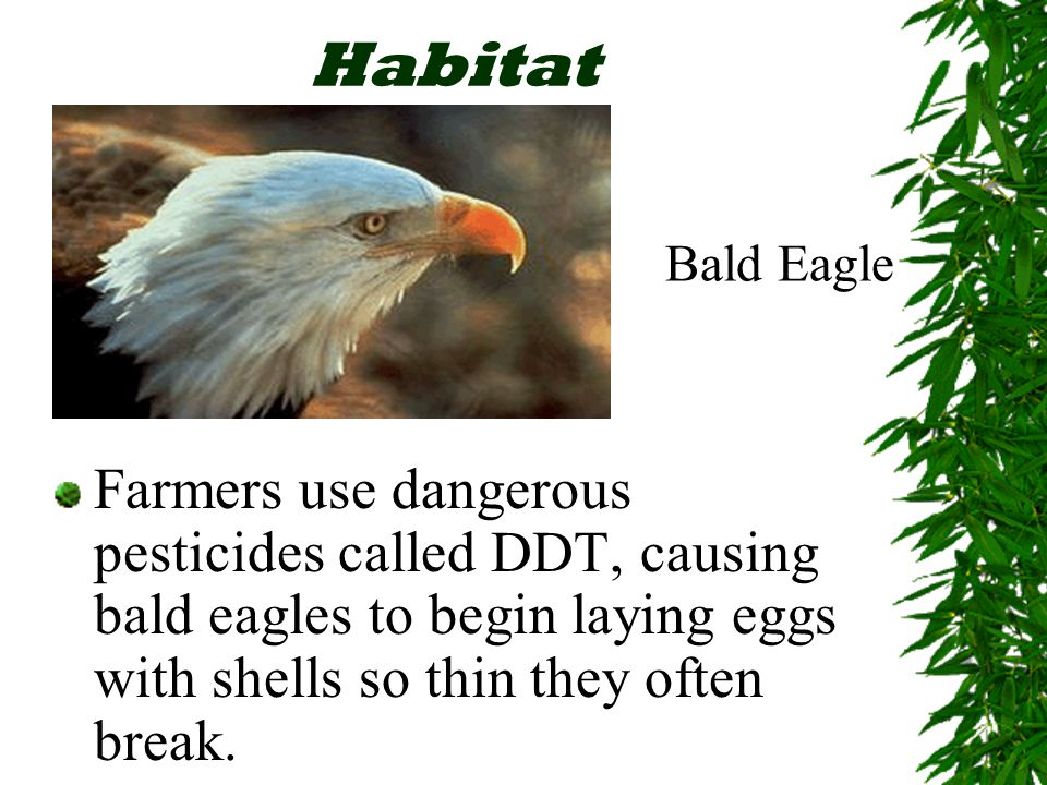 Habitat Farmers use dangerous pesticides called DDT, causing bald eagles to begin laying eggs with shells so thin they often break.