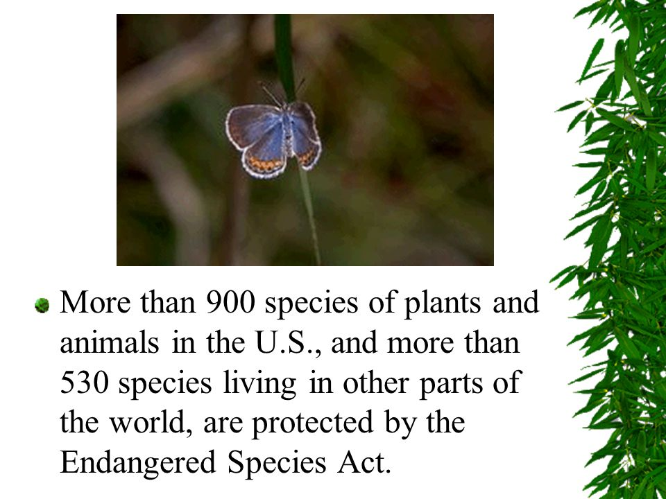 More than 900 species of plants and animals in the U.S., and more than 530 species living in other parts of the world, are protected by the Endangered Species Act.