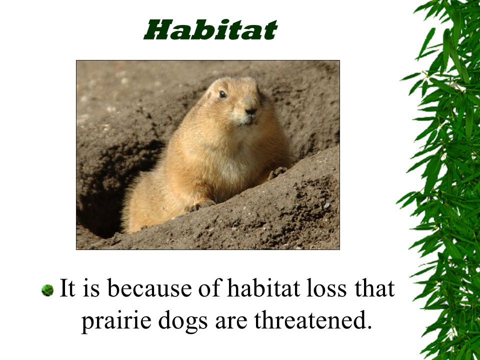 Habitat Humans have developed more wild land Prairie dogs were considered pests by the settlers Thousands of prairie dog towns were killed off