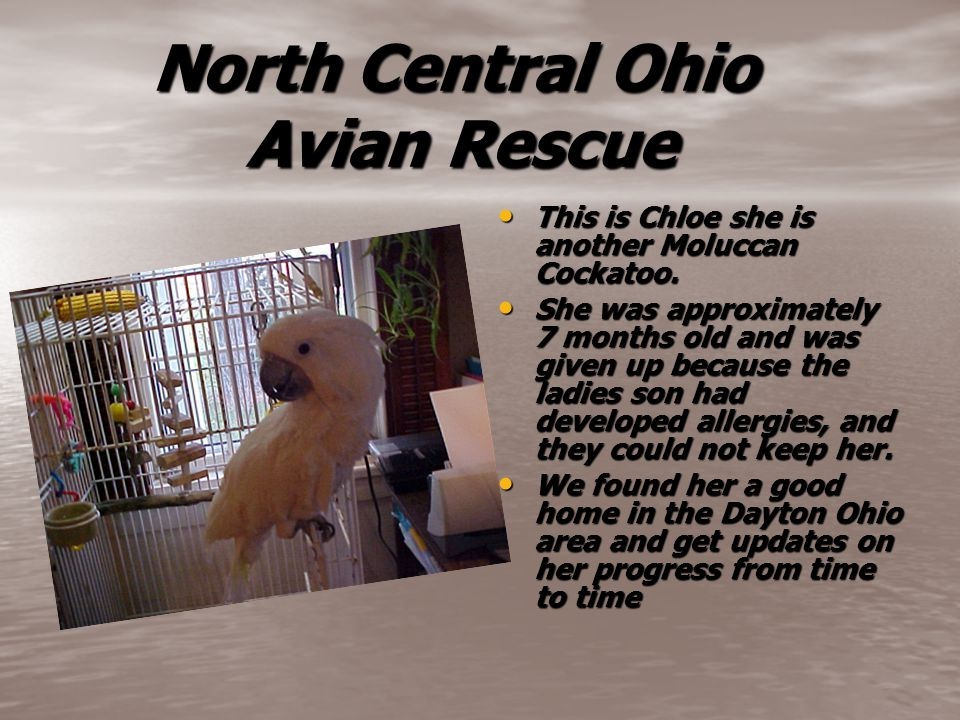 North Central Ohio Avian Rescue North Central Ohio Avian Rescue This is Chloe she is another Moluccan Cockatoo. This is Chloe she is another Moluccan