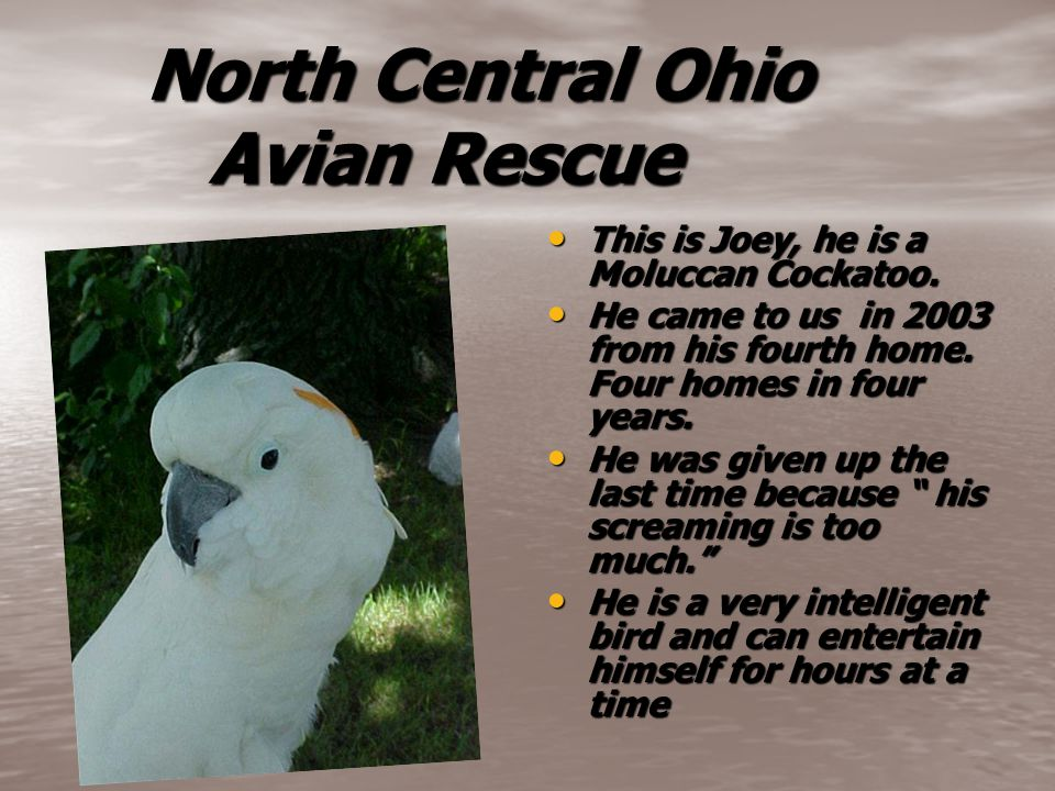 North Central Ohio Avian Rescue North Central Ohio Avian Rescue This is Joey, he is a Moluccan Cockatoo. This is Joey, he is a Moluccan Cockatoo. He c