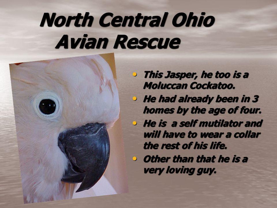North Central Ohio Avian Rescue North Central Ohio Avian Rescue This Jasper, he too is a Moluccan Cockatoo.