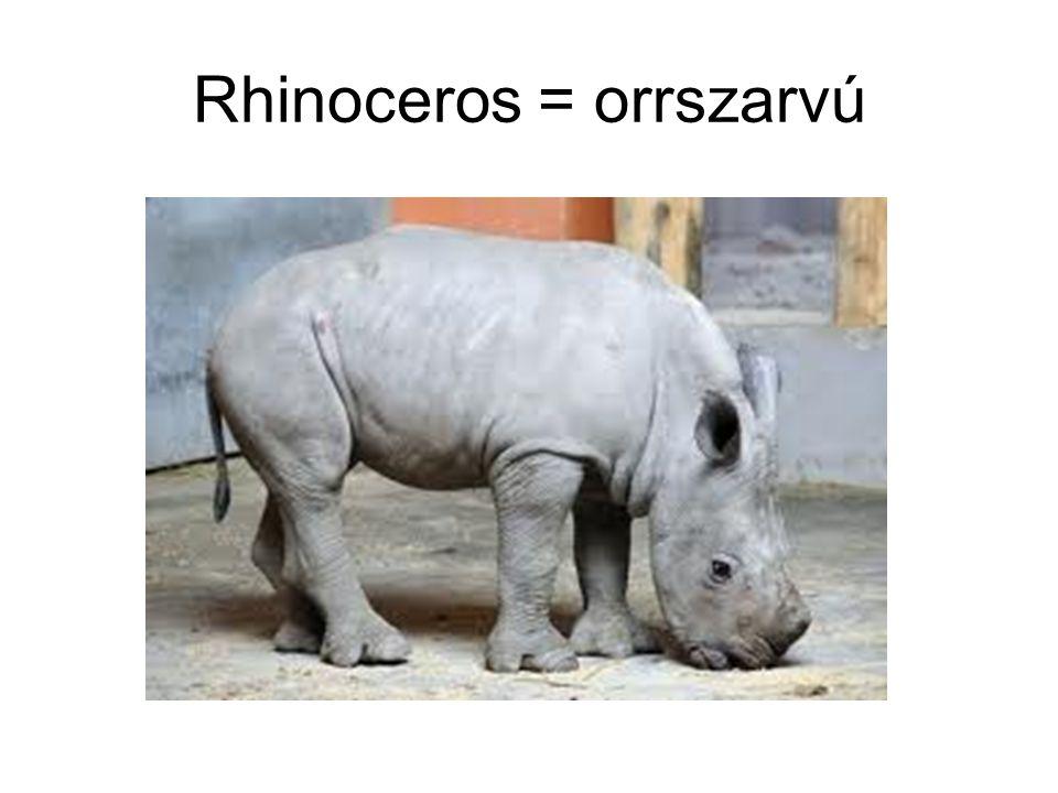 Rhinoceros = orrszarvú