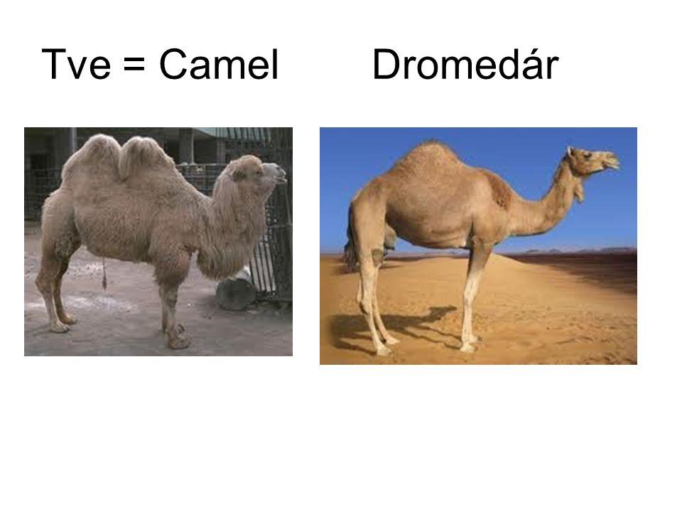 Tve = Camel Dromedár