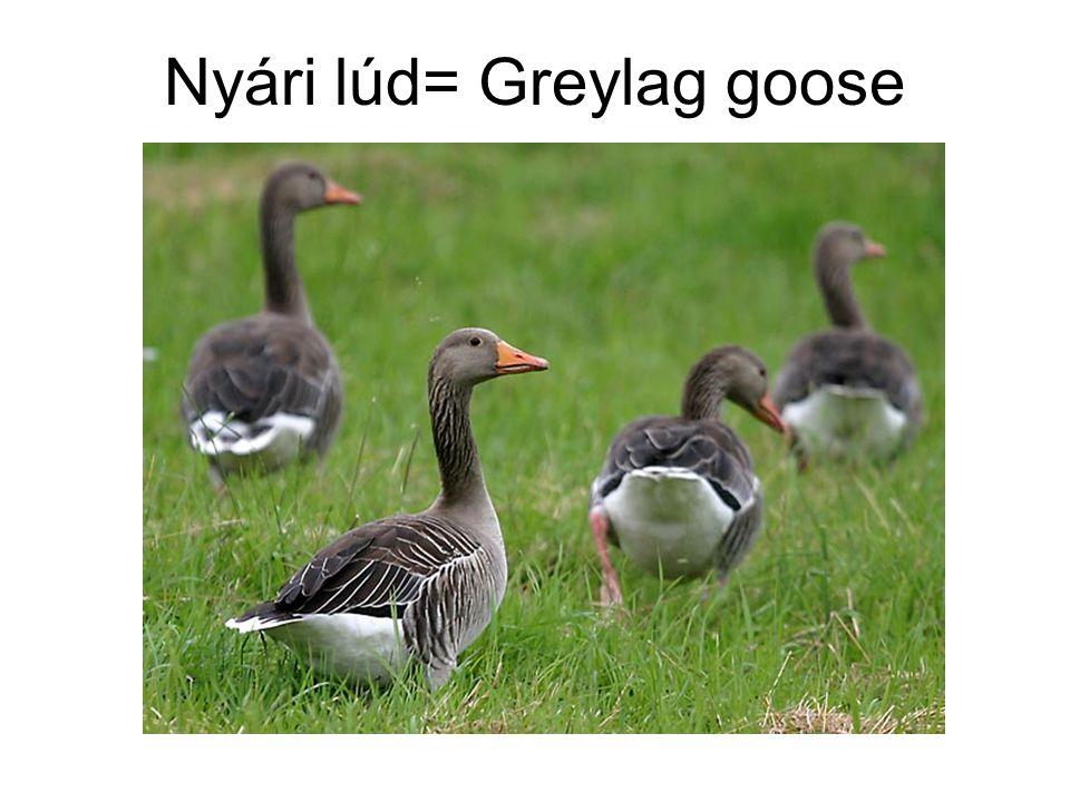 Nyári lúd= Greylag goose
