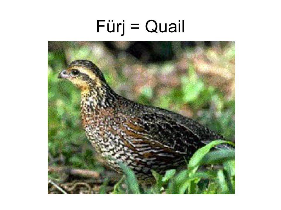 Fürj = Quail