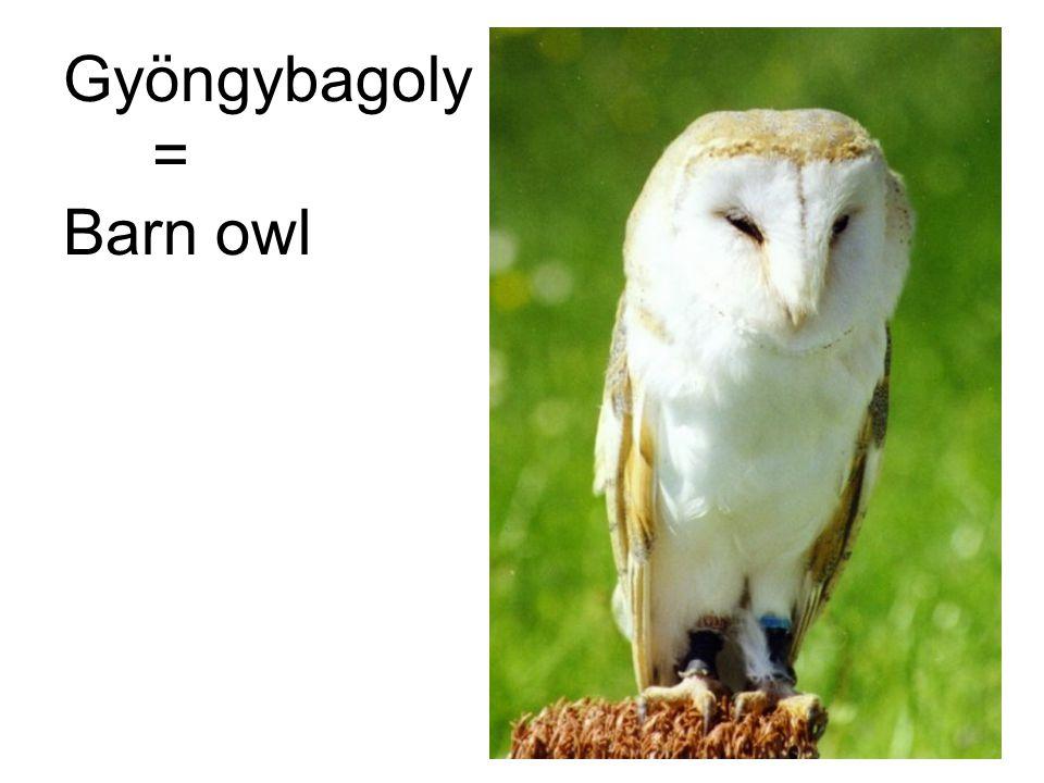 Gyöngybagoly = Barn owl