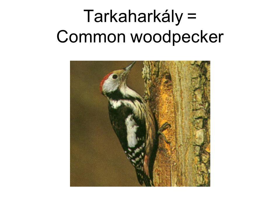 Tarkaharkály = Common woodpecker