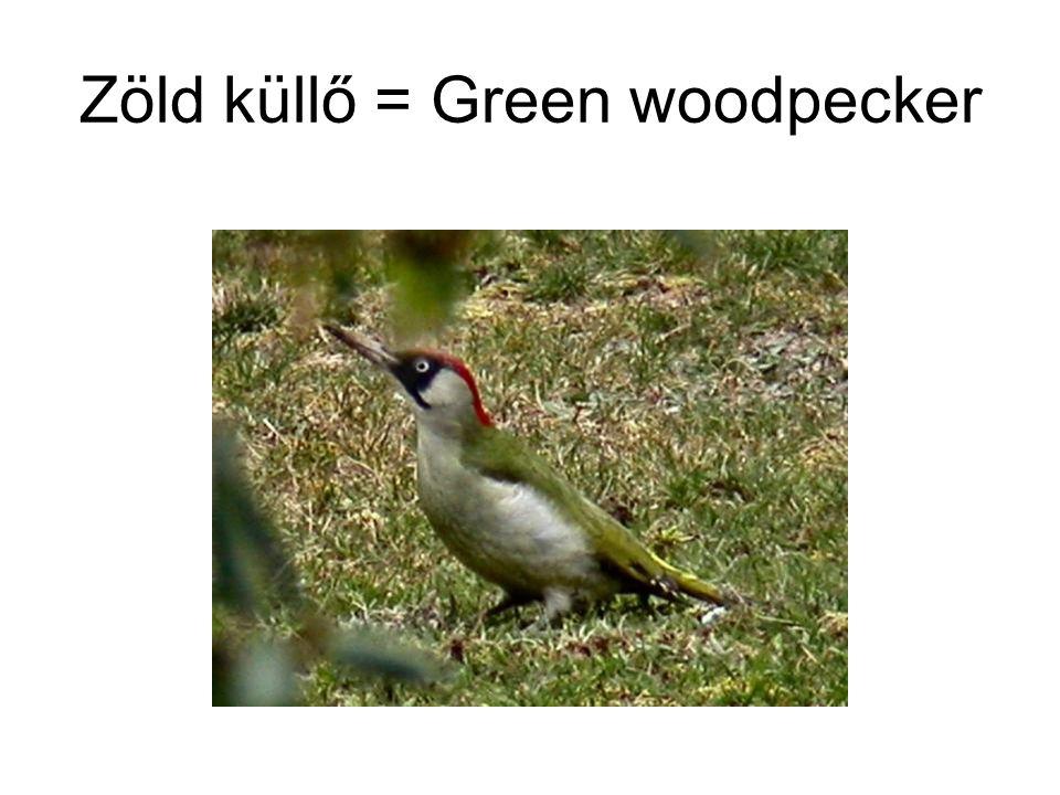 Zöld küllő = Green woodpecker