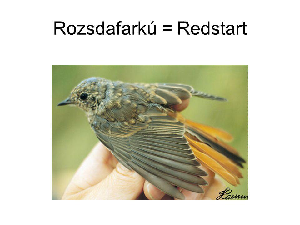 Rozsdafarkú = Redstart