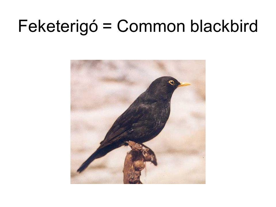 Feketerigó = Common blackbird