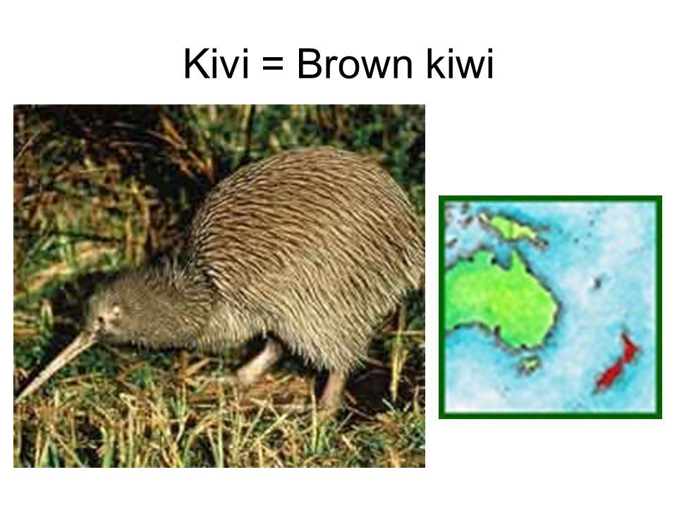 Kivi = Brown kiwi
