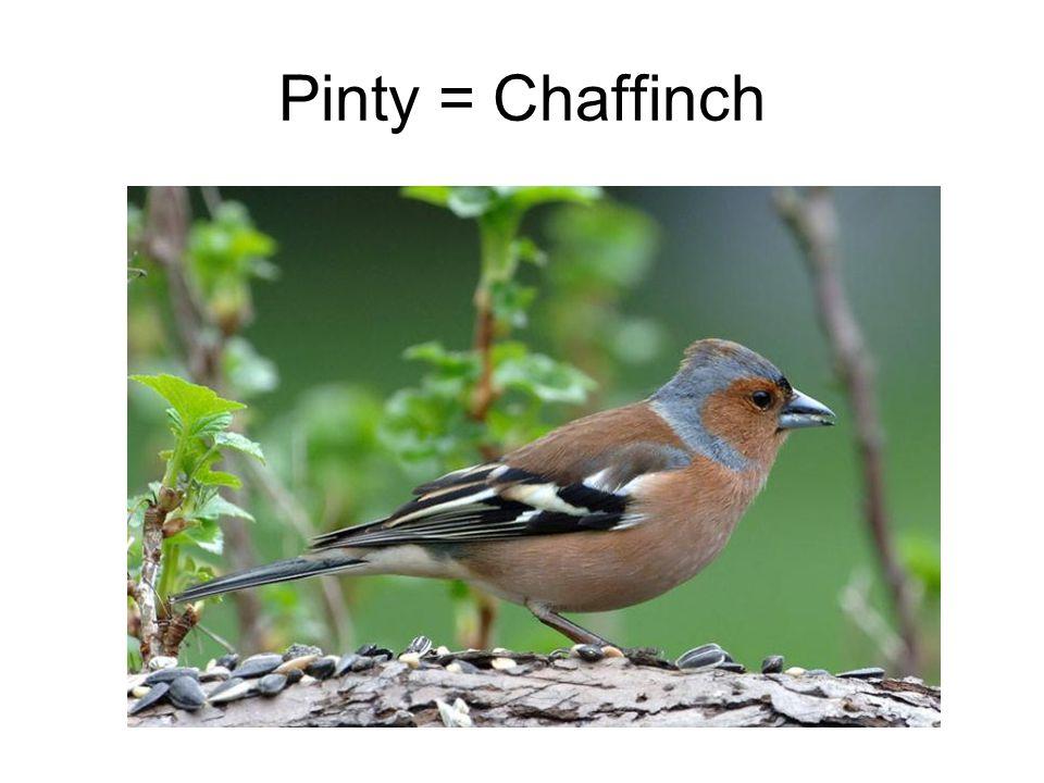 Pinty = Chaffinch